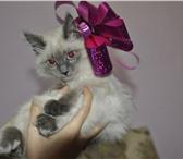 Изображение в Домашние животные Вязка нужен кот на вязку породы невская маскарадная в Улан-Удэ 0