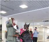 Foto в Домашние животные Вязка собак Предлагается для вязки кобель добермана с в Санкт-Петербурге 30000