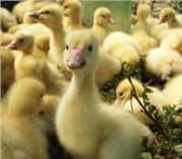 Foto в Домашние животные Птички Реализуем гусят суточных.  Порода Линда, в Ижевске 0