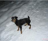 Foto в Домашние животные Потерянные 23.11.2013 Пропала собака порода ЯГДТЕРЬЕР в Москве 0