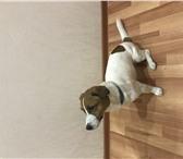 Фото в Домашние животные Услуги для животных Случу 2х годовалого кобеля породы Джек Рассел в Архангельске 5000