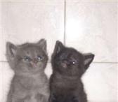 Фотография в Домашние животные Отдам даром Очаровательные котята  « Русской голубой» в Якутске 555